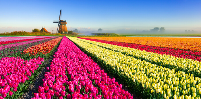 Tulips in holland discover holland for Tulip garden in texas